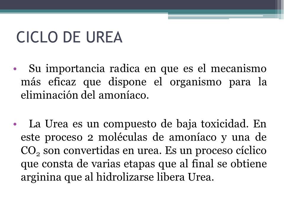 CICLO DE UREA Su importancia radica en que es el mecanismo más eficaz que dispone el organismo para la eliminación del amoníaco. La Urea es un compues