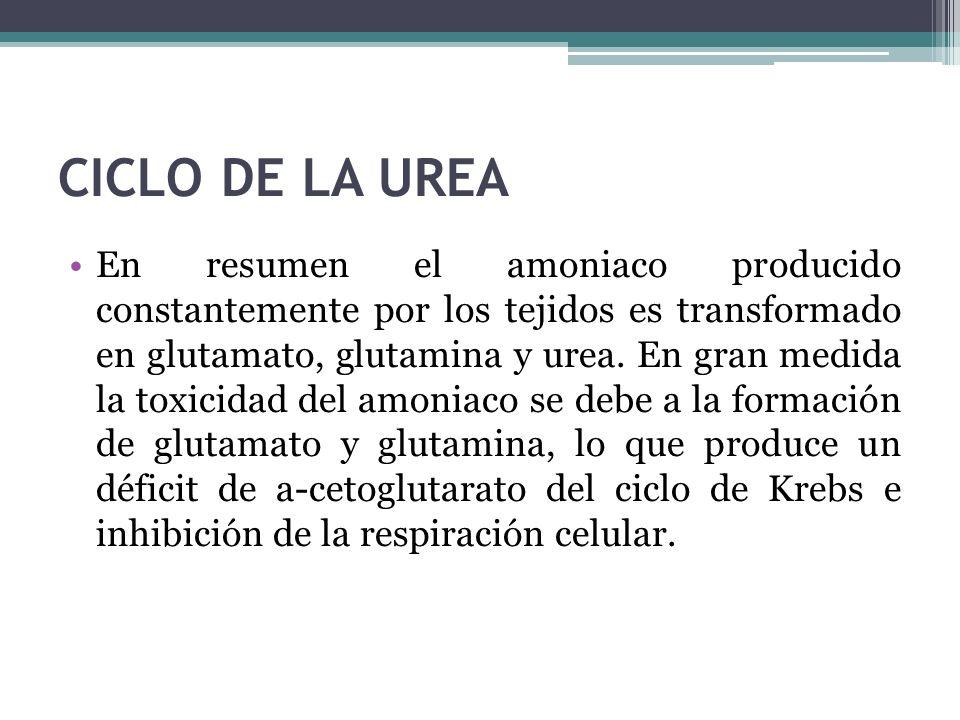 CICLO DE LA UREA En resumen el amoniaco producido constantemente por los tejidos es transformado en glutamato, glutamina y urea. En gran medida la tox
