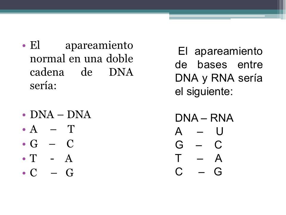El apareamiento normal en una doble cadena de DNA sería: DNA – DNA A – T G – C T - A C – G El apareamiento de bases entre DNA y RNA sería el siguiente