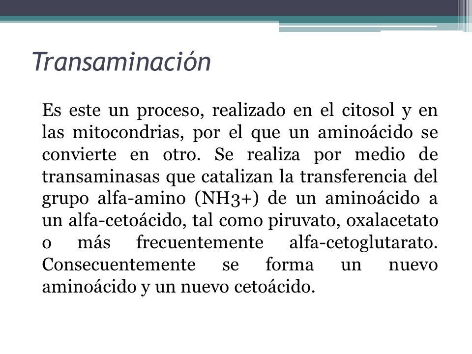 Transaminación Es este un proceso, realizado en el citosol y en las mitocondrias, por el que un aminoácido se convierte en otro. Se realiza por medio