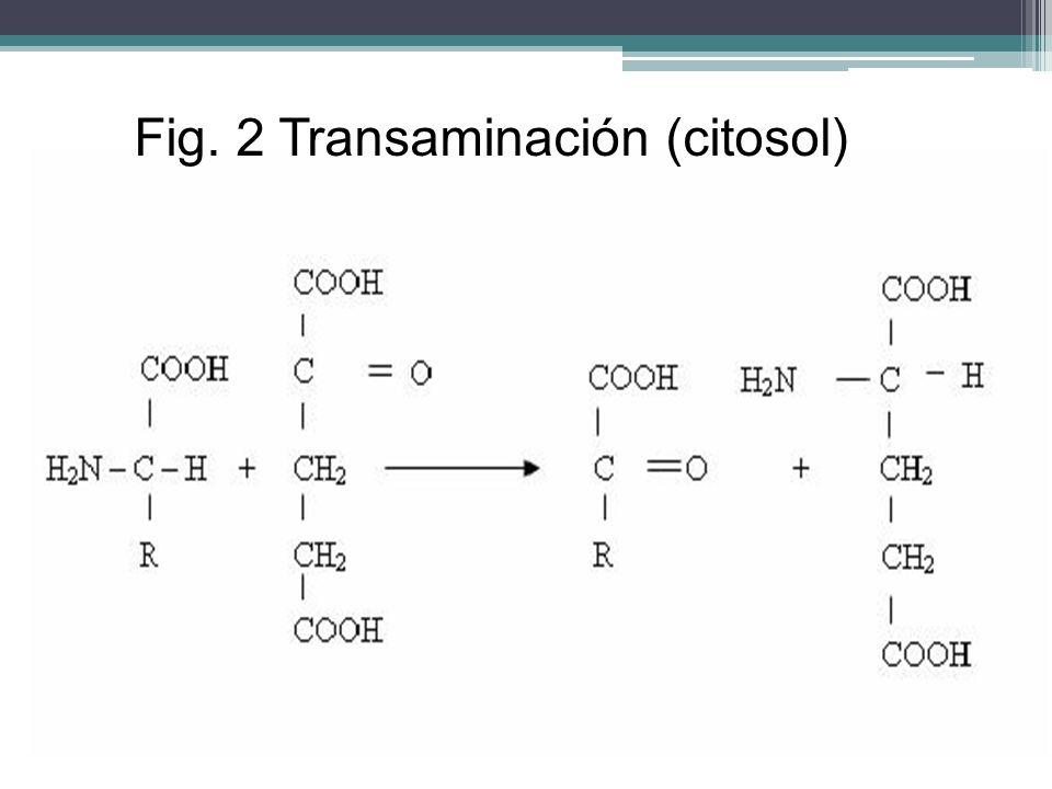 Fig. 2 Transaminación (citosol)