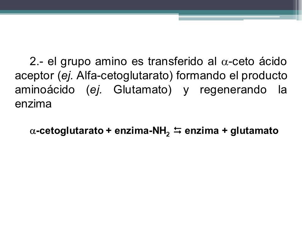2.- el grupo amino es transferido al -ceto ácido aceptor (ej. Alfa-cetoglutarato) formando el producto aminoácido (ej. Glutamato) y regenerando la enz