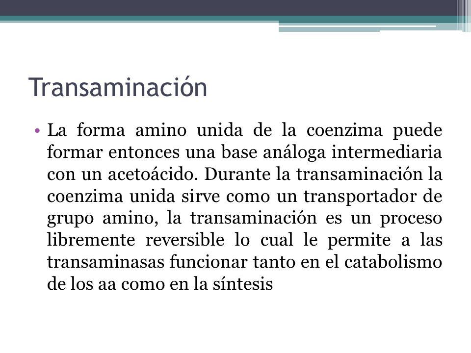 Transaminación La forma amino unida de la coenzima puede formar entonces una base análoga intermediaria con un acetoácido. Durante la transaminación l