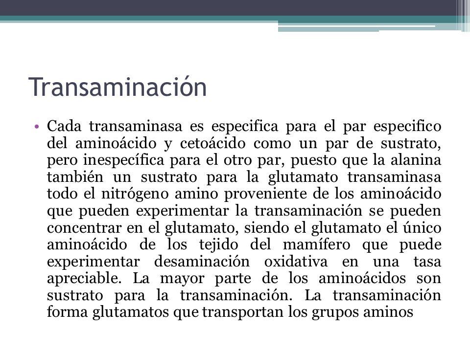 Transaminación Cada transaminasa es especifica para el par especifico del aminoácido y cetoácido como un par de sustrato, pero inespecífica para el ot