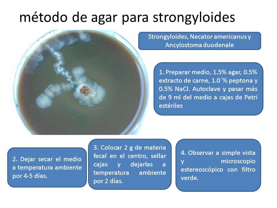 método de agar para strongyloides Strongyloides, Necator americanus y Ancylostoma duodenale 1. Preparar medio, 1.5% agar, 0.5% extracto de carne, 1.0´