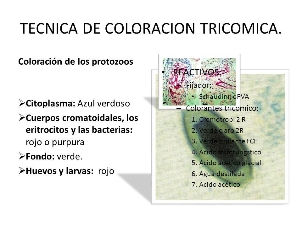 TECNICA DE COLORACION TRICOMICA. Coloración de los protozoos Citoplasma: Azul verdoso Cuerpos cromatoidales, los eritrocitos y las bacterias: rojo o p