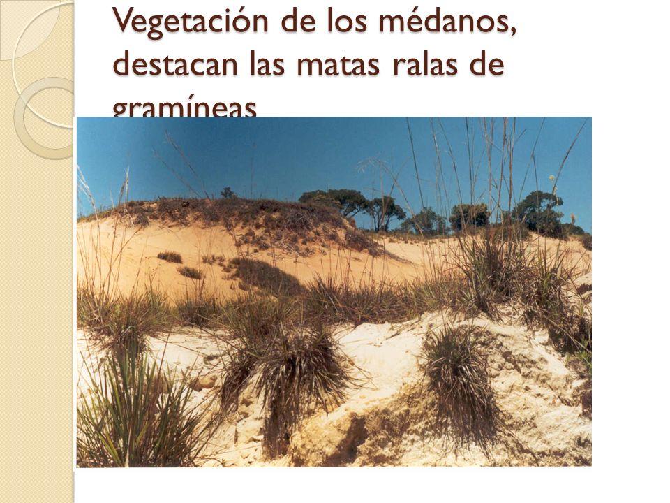 Vegetación de los médanos, destacan las matas ralas de gramíneas