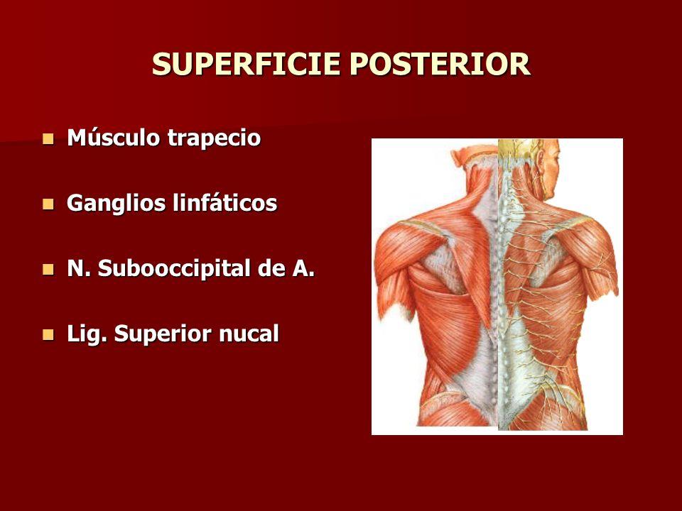 SUPERFICIE POSTERIOR Músculo trapecio Músculo trapecio Ganglios linfáticos Ganglios linfáticos N. Subooccipital de A. N. Subooccipital de A. Lig. Supe