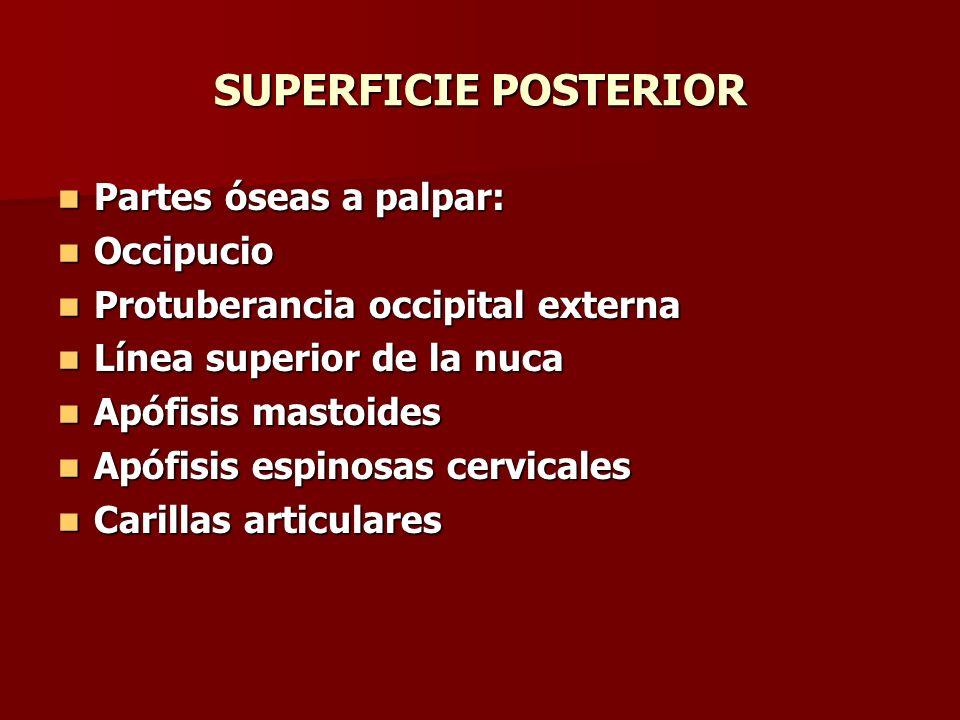 SUPERFICIE POSTERIOR Partes óseas a palpar: Partes óseas a palpar: Occipucio Occipucio Protuberancia occipital externa Protuberancia occipital externa
