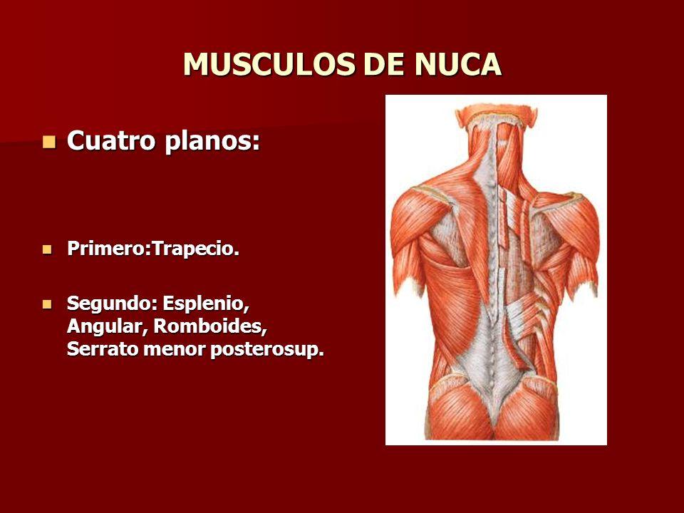 MUSCULOS DE NUCA Tercero: Complexo mayor, menor y transverso del cuello.