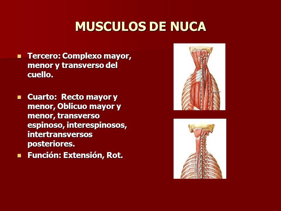 MUSCULOS DE NUCA Tercero: Complexo mayor, menor y transverso del cuello. Tercero: Complexo mayor, menor y transverso del cuello. Cuarto: Recto mayor y