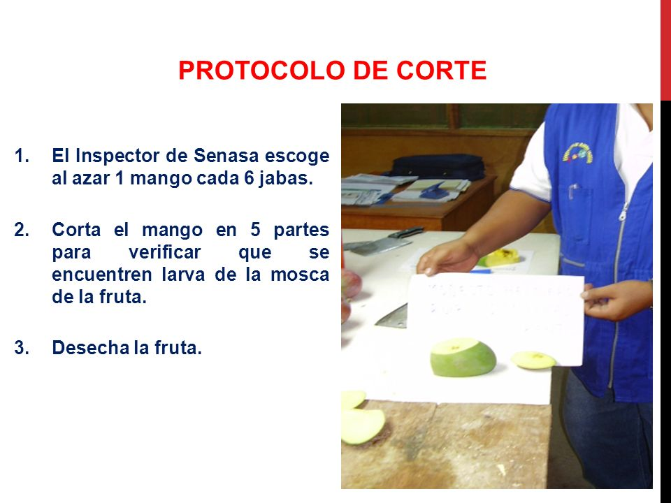 1.El Inspector de Senasa escoge al azar 1 mango cada 6 jabas. 2.Corta el mango en 5 partes para verificar que se encuentren larva de la mosca de la fr