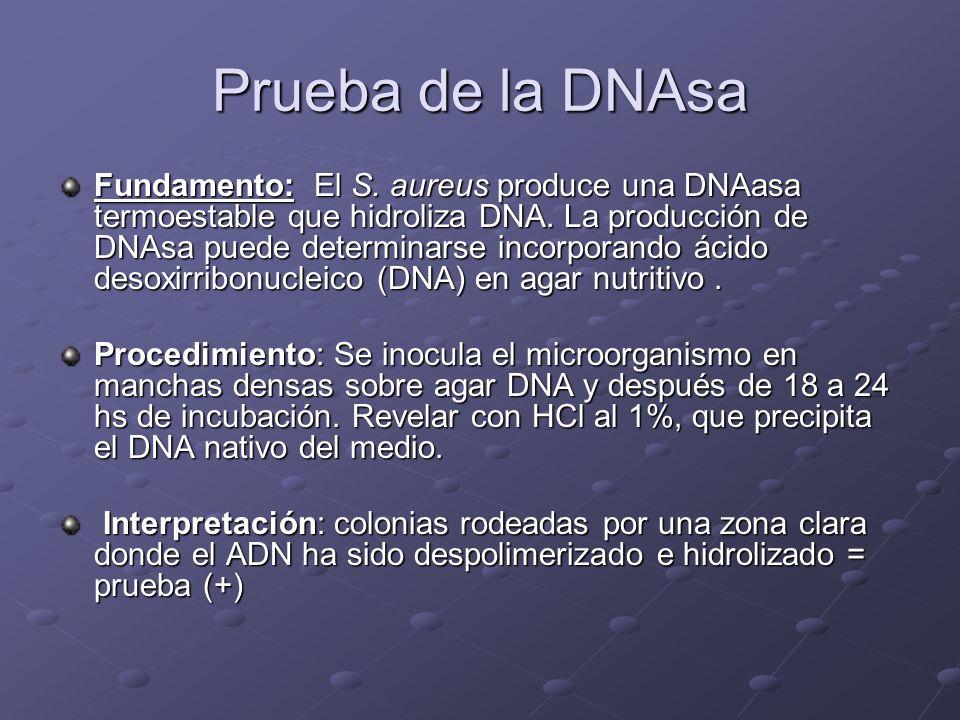 Prueba de la DNAsa Fundamento: El S. aureus produce una DNAasa termoestable que hidroliza DNA. La producción de DNAsa puede determinarse incorporando