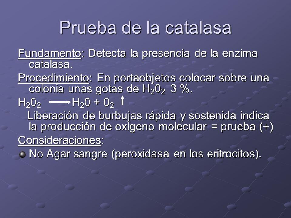 Prueba de la catalasa Fundamento: Detecta la presencia de la enzima catalasa. Procedimiento: En portaobjetos colocar sobre una colonia unas gotas de H