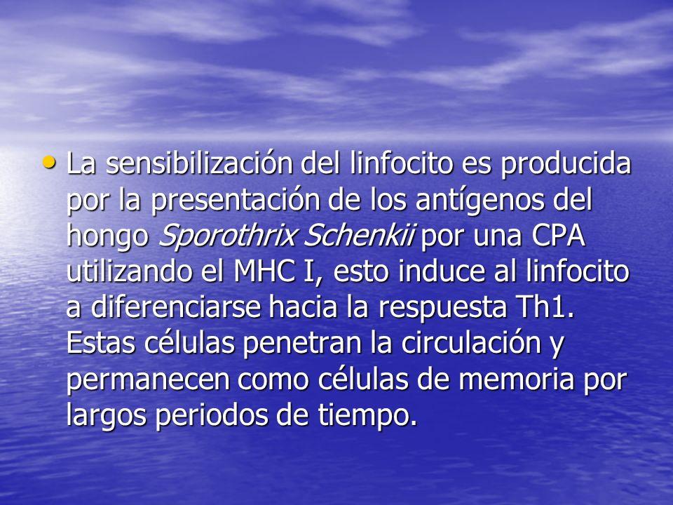 La sensibilización del linfocito es producida por la presentación de los antígenos del hongo Sporothrix Schenkii por una CPA utilizando el MHC I, esto