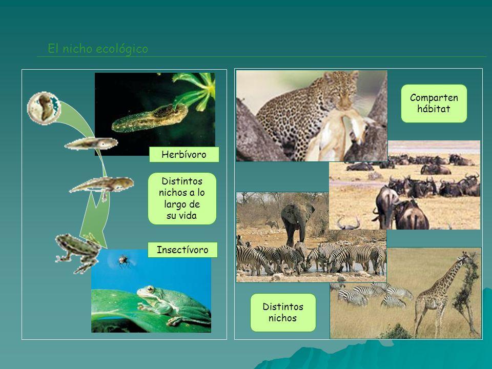El nicho ecológico Herbívoro Insectívoro Distintos nichos a lo largo de su vida Comparten hábitat Distintos nichos