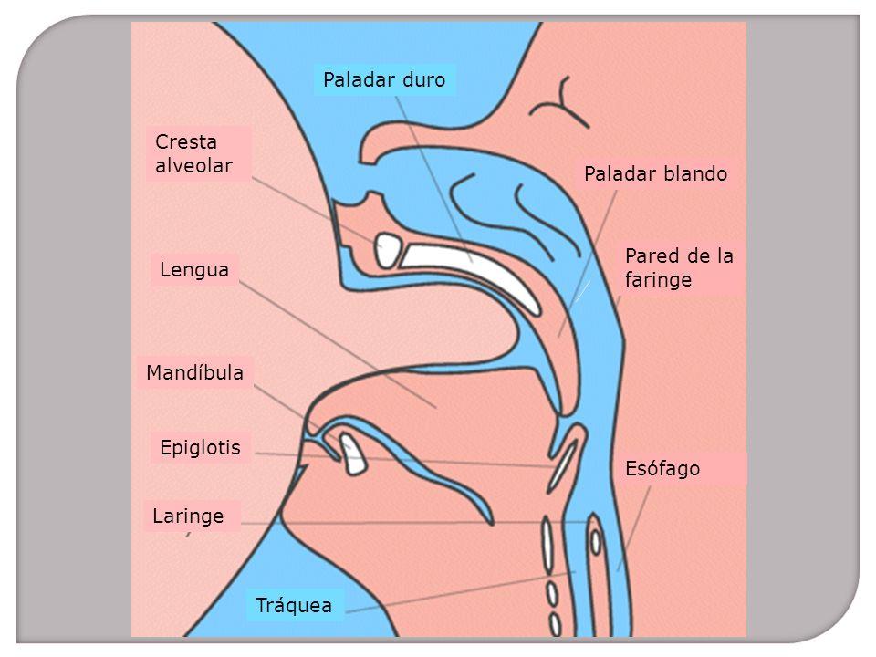 Paladar duro Tráquea Paladar blando Pared de la faringe Esófago Lengua Mandíbula Epiglotis Laringe Cresta alveolar