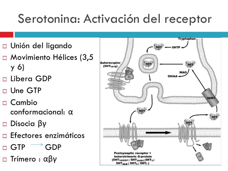 Serotonina: Activación del receptor Unión del ligando Movimiento Hélices (3,5 y 6) Libera GDP Une GTP Cambio conformacional: α Disocia βγ Efectores en