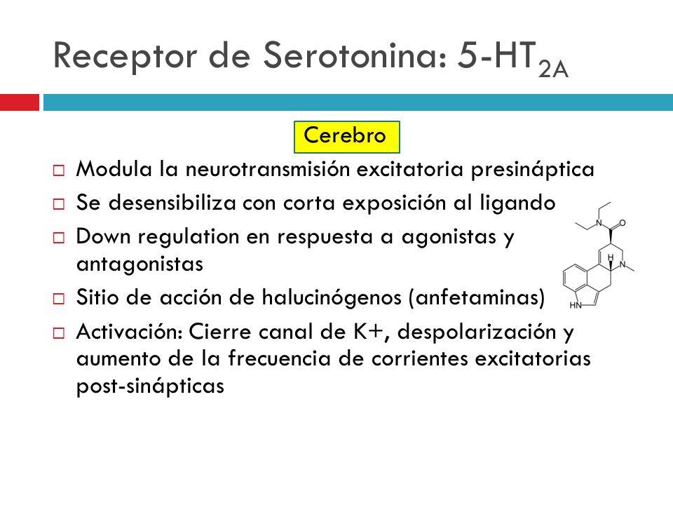 Receptor de Serotonina: 5-HT 2A Cerebro Modula la neurotransmisión excitatoria presináptica Se desensibiliza con corta exposición al ligando Down regu
