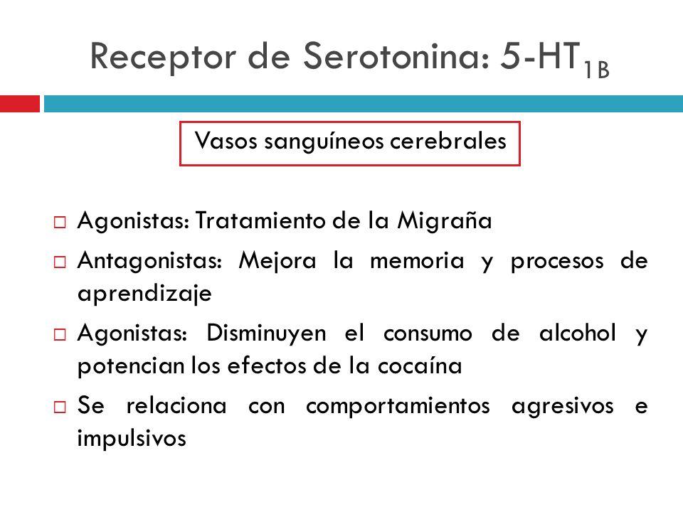 Receptor de Serotonina: 5-HT 1B Vasos sanguíneos cerebrales Agonistas: Tratamiento de la Migraña Antagonistas: Mejora la memoria y procesos de aprendi