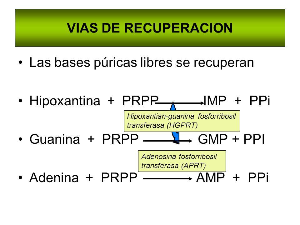 VIAS DE RECUPERACION Las bases púricas libres se recuperan Hipoxantina + PRPP IMP + PPi Guanina + PRPP GMP + PPI Adenina + PRPP AMP + PPi Adenosina fo