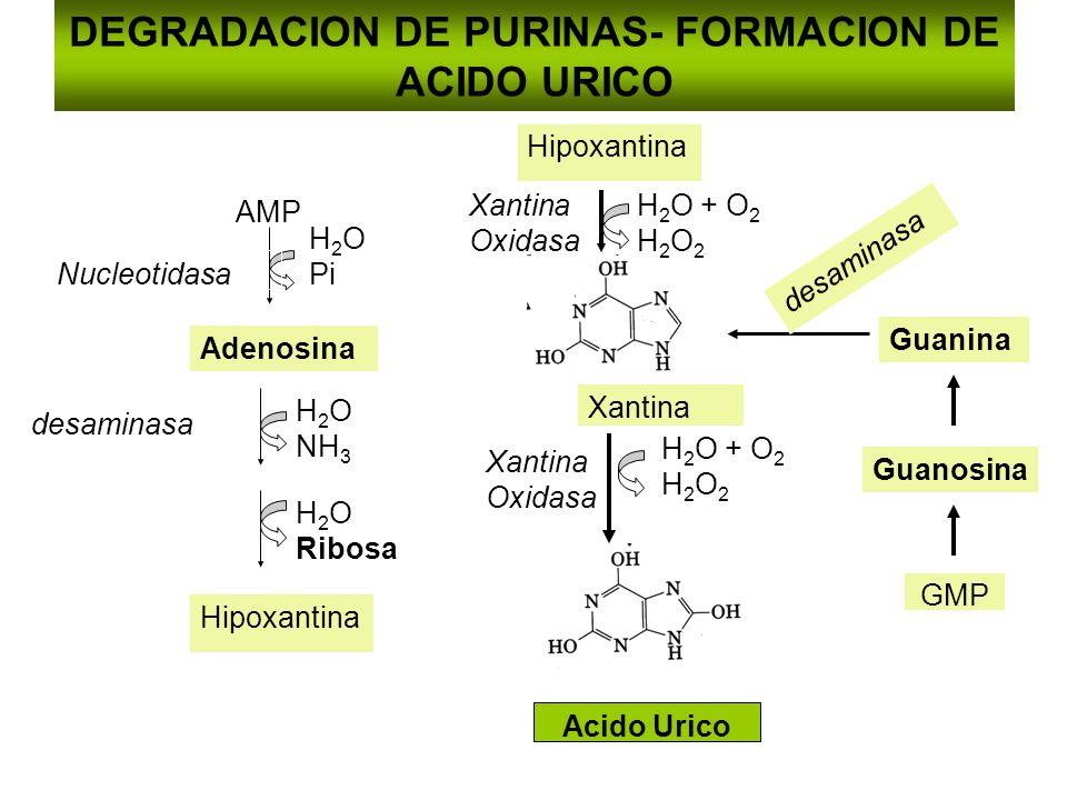 DEGRADACION DE PURINAS- FORMACION DE ACIDO URICO AMP H 2 O Pi Nucleotidasa Adenosina H 2 O NH 3 desaminasa H 2 O Ribosa Hipoxantina Xantina Xantina Ox