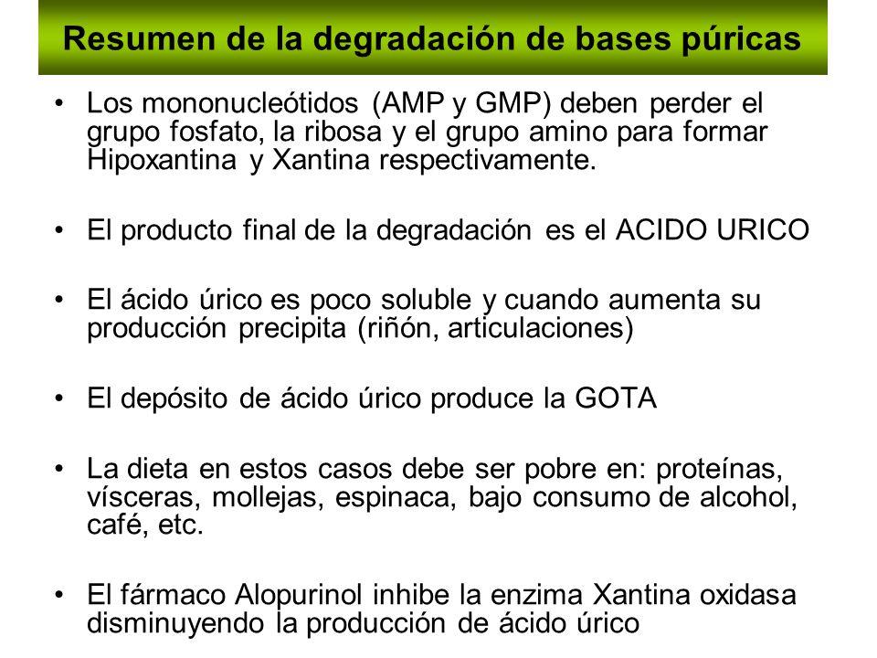 Resumen de la degradación de bases púricas Los mononucleótidos (AMP y GMP) deben perder el grupo fosfato, la ribosa y el grupo amino para formar Hipox