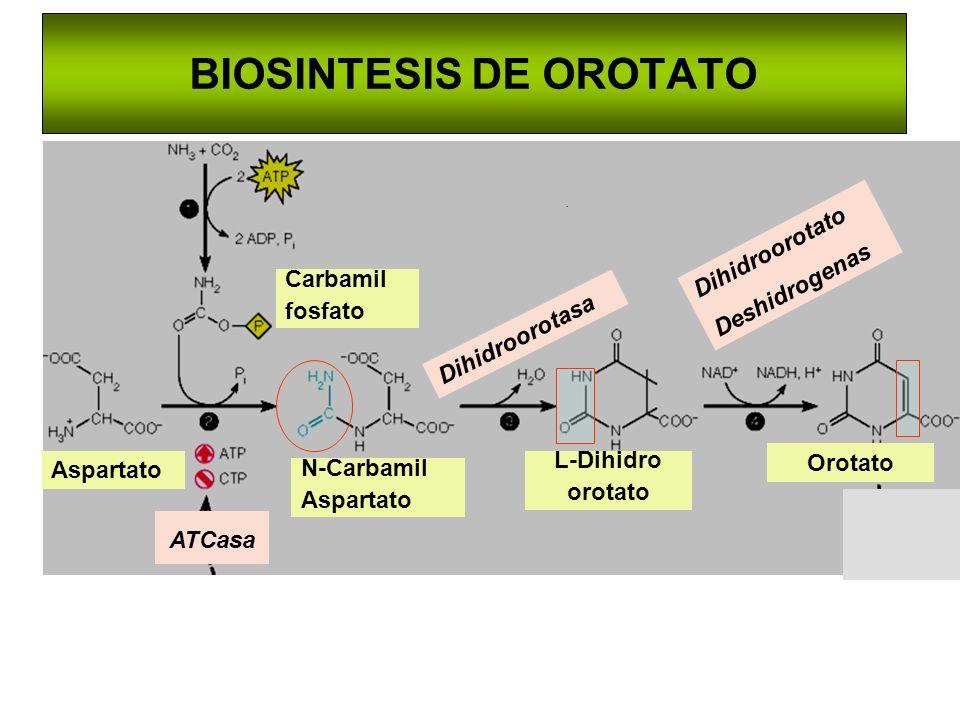 . Aspartato Carbamil fosfato N-Carbamil Aspartato ATCasa L-Dihidro orotato Orotato Dihidroorotasa Dihidroorotato Deshidrogenas BIOSINTESIS DE OROTATO