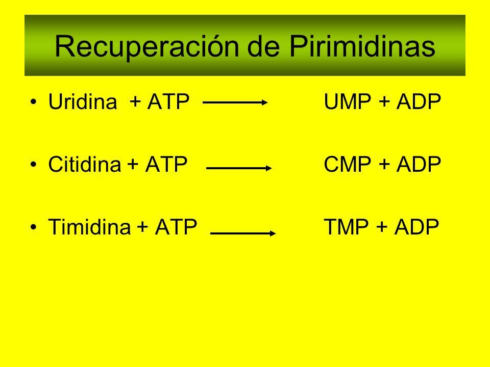 Recuperación de Pirimidinas Uridina + ATPUMP + ADP Citidina + ATP CMP + ADP Timidina + ATP TMP + ADP