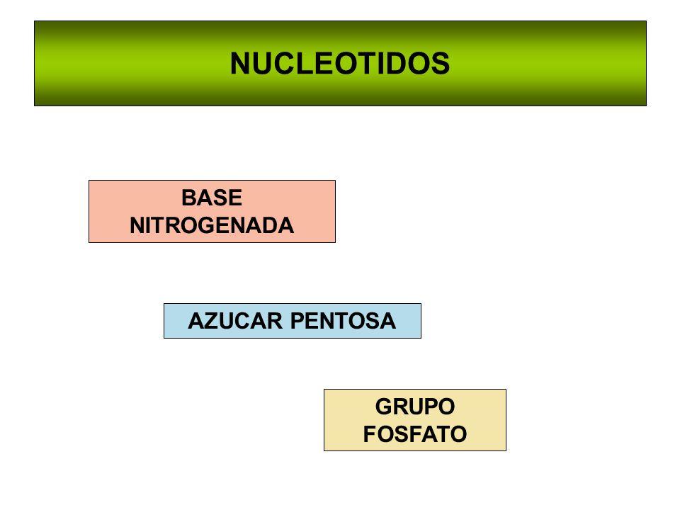 NUCLEOTIDOS BASE NITROGENADA AZUCAR PENTOSA GRUPO FOSFATO
