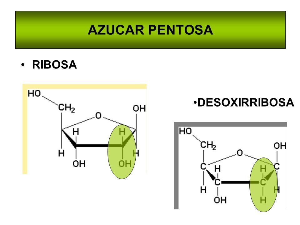 VIAS DE RECUPERACION Las bases púricas libres se recuperan Hipoxantina + PRPP IMP + PPi Guanina + PRPP GMP + PPI Adenina + PRPP AMP + PPi Adenosina fosforribosil transferasa (APRT) Hipoxantian-guanina fosforribosil transferasa (HGPRT)