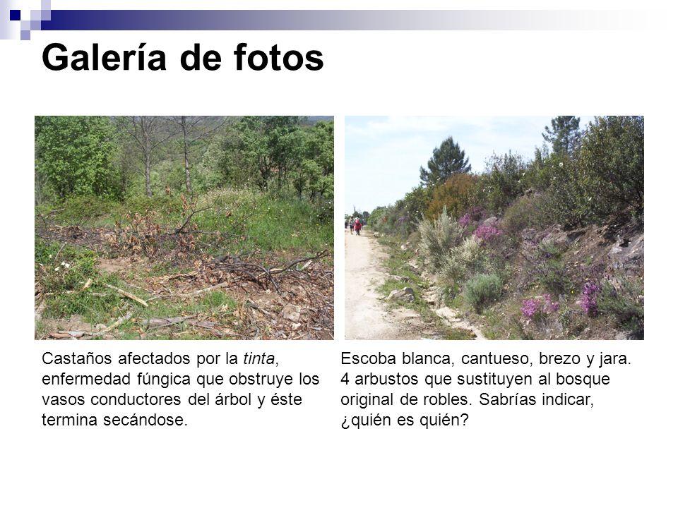 Galería de fotos Castaños afectados por la tinta, enfermedad fúngica que obstruye los vasos conductores del árbol y éste termina secándose. Escoba bla