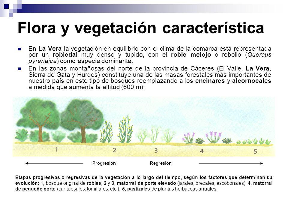 Flora y vegetación característica En La Vera la vegetación en equilibrio con el clima de la comarca está representada por un robledal muy denso y tupi