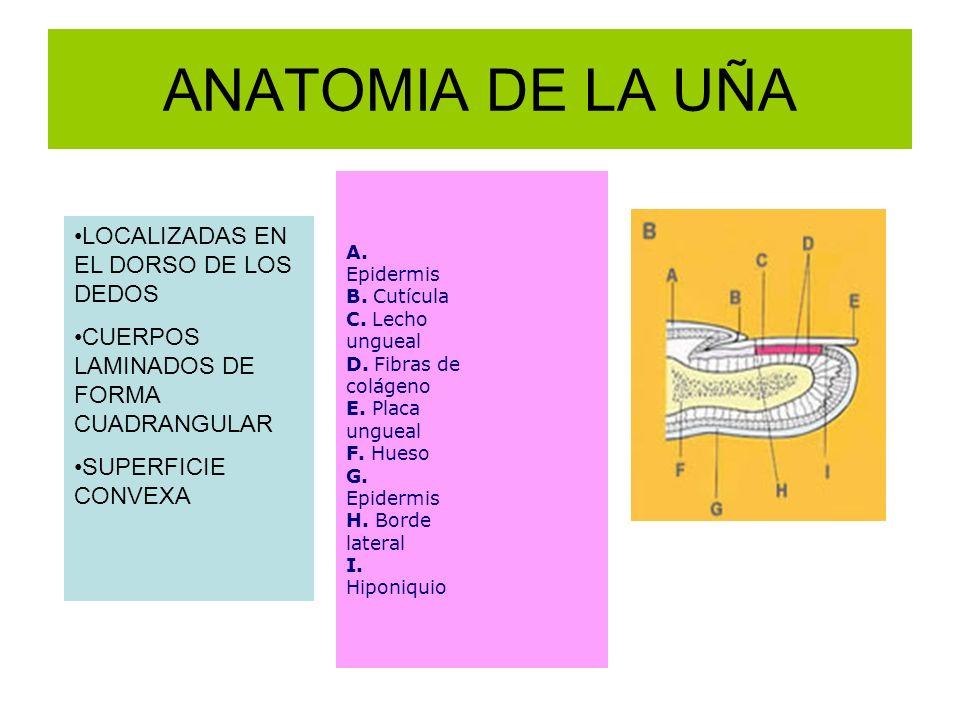ANATOMIA DE LA UÑA A. Epidermis B. Cutícula C. Lecho ungueal D. Fibras de colágeno E. Placa ungueal F. Hueso G. Epidermis H. Borde lateral I. Hiponiqu