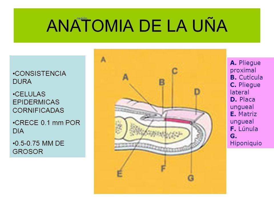 ANATOMIA DE LA UÑA región. A. Pliegue proximal B. Cutícula C. Pliegue lateral D. Placa ungueal E. Matriz ungueal F. Lúnula G. Hiponiquio CONSISTENCIA