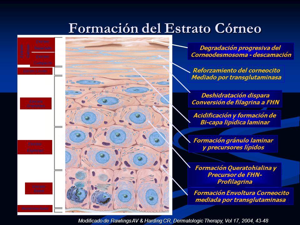 Estrato Separado Estrato Compacto Estrato Granuloso Estrato Espinoso Estrato Basal Membrana Basal Estrato Lúcido Estrato Córneo Formación del Estrato