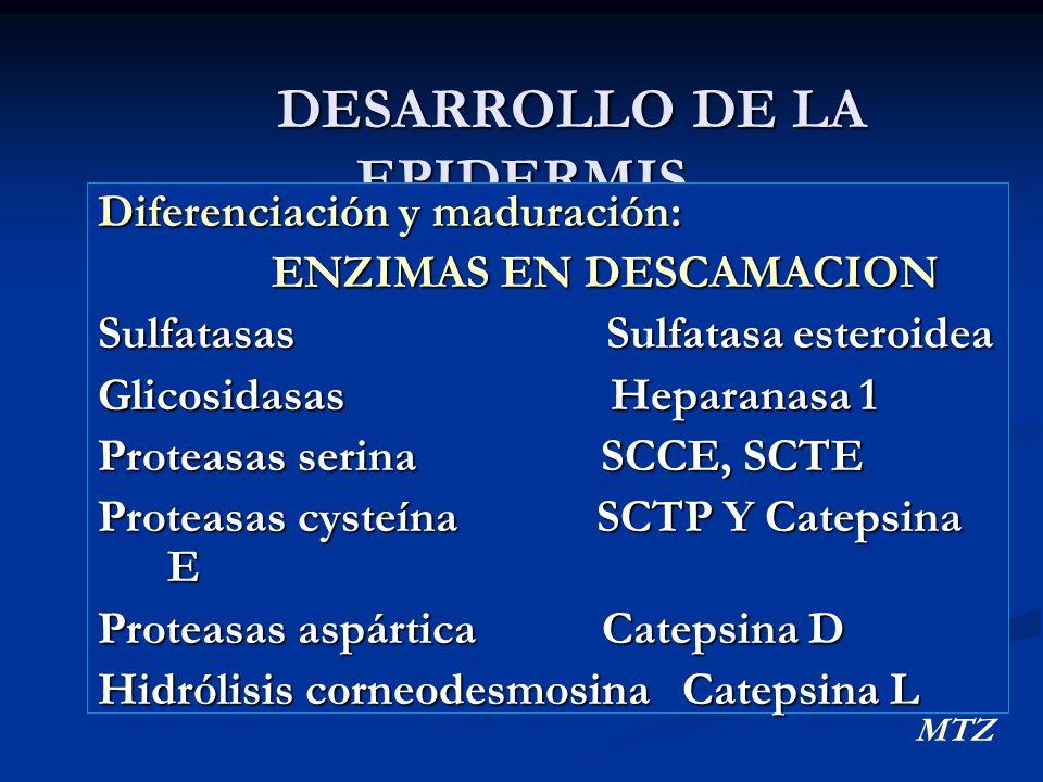 DESARROLLO DE LA EPIDERMIS DESARROLLO DE LA EPIDERMIS Diferenciación y maduración: ENZIMAS EN DESCAMACION ENZIMAS EN DESCAMACION Sulfatasas Sulfatasa