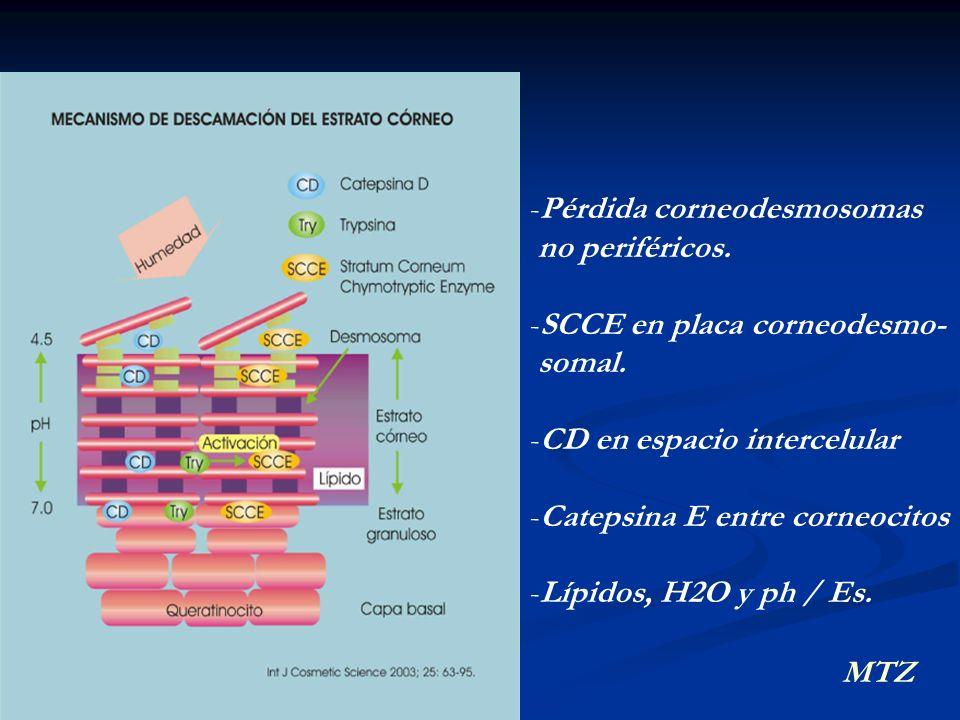 MTZ -Pérdida corneodesmosomas no periféricos. -SCCE en placa corneodesmo- somal. -CD en espacio intercelular -Catepsina E entre corneocitos -Lípidos,