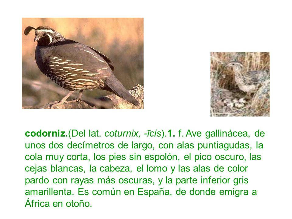 codorniz.(Del lat. coturnix, -īcis).1. f. Ave gallinácea, de unos dos decímetros de largo, con alas puntiagudas, la cola muy corta, los pies sin espol