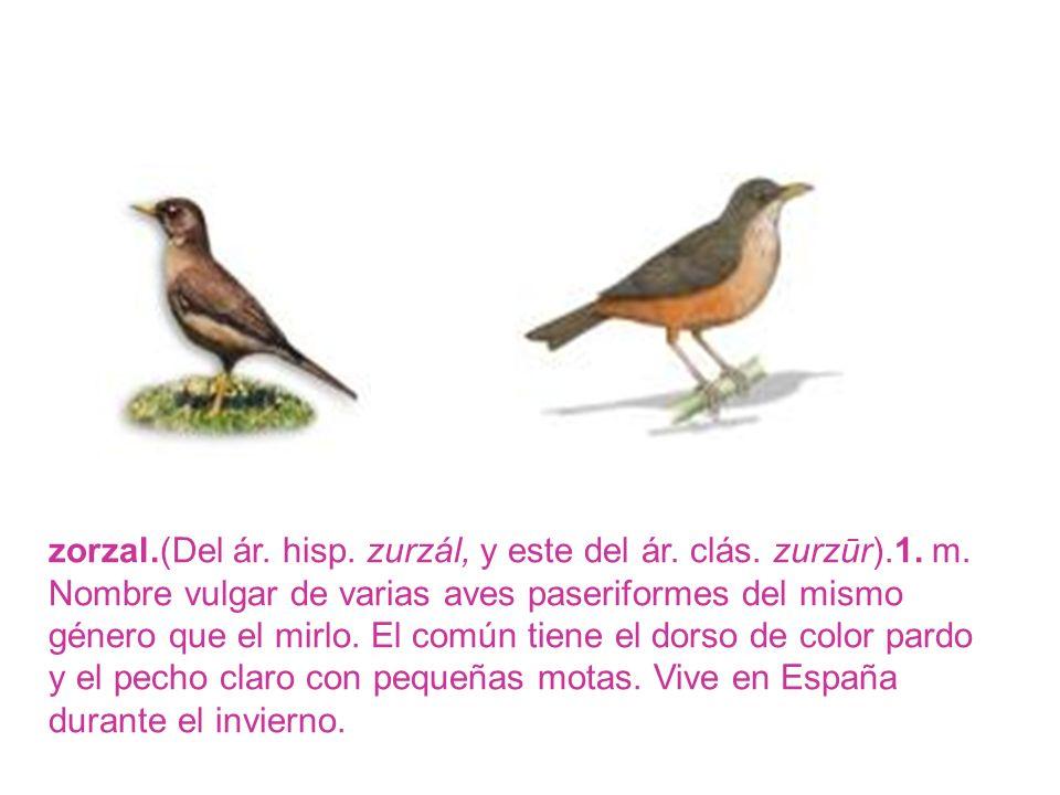 zorzal.(Del ár. hisp. zurzál, y este del ár. clás. zurzūr).1. m. Nombre vulgar de varias aves paseriformes del mismo género que el mirlo. El común tie