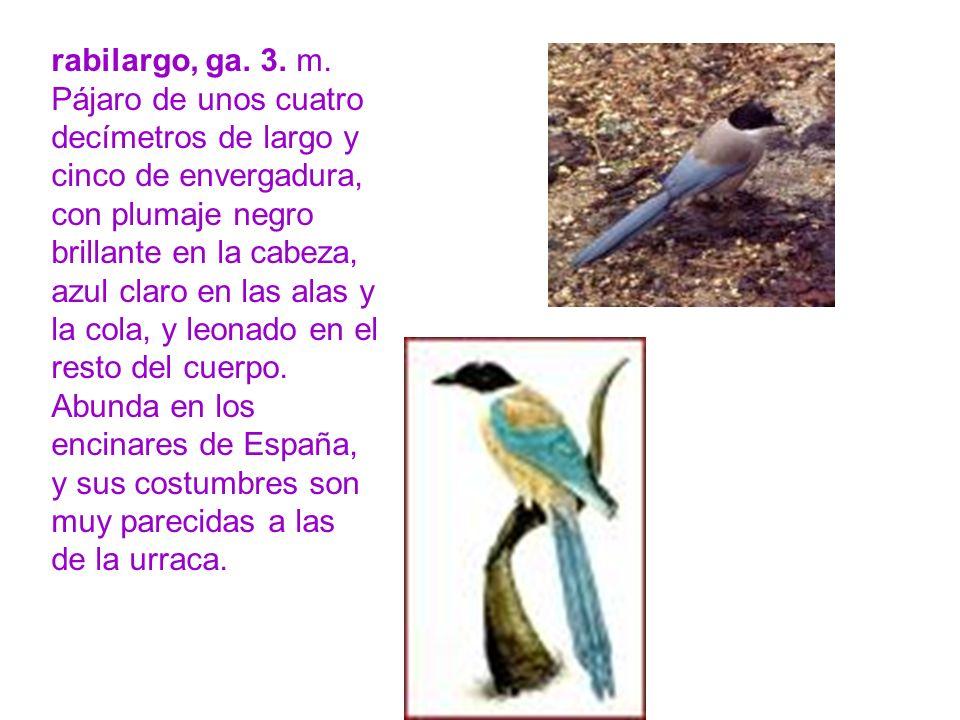rabilargo, ga. 3. m. Pájaro de unos cuatro decímetros de largo y cinco de envergadura, con plumaje negro brillante en la cabeza, azul claro en las ala