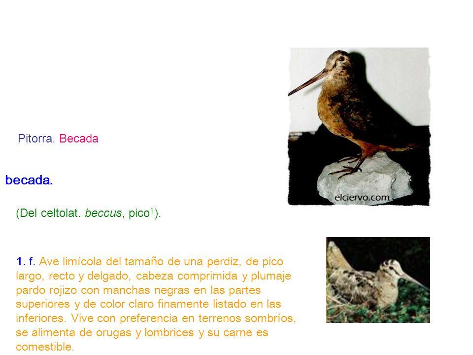 becada. (Del celtolat. beccus, pico 1 ). 1. f. Ave limícola del tamaño de una perdiz, de pico largo, recto y delgado, cabeza comprimida y plumaje pard