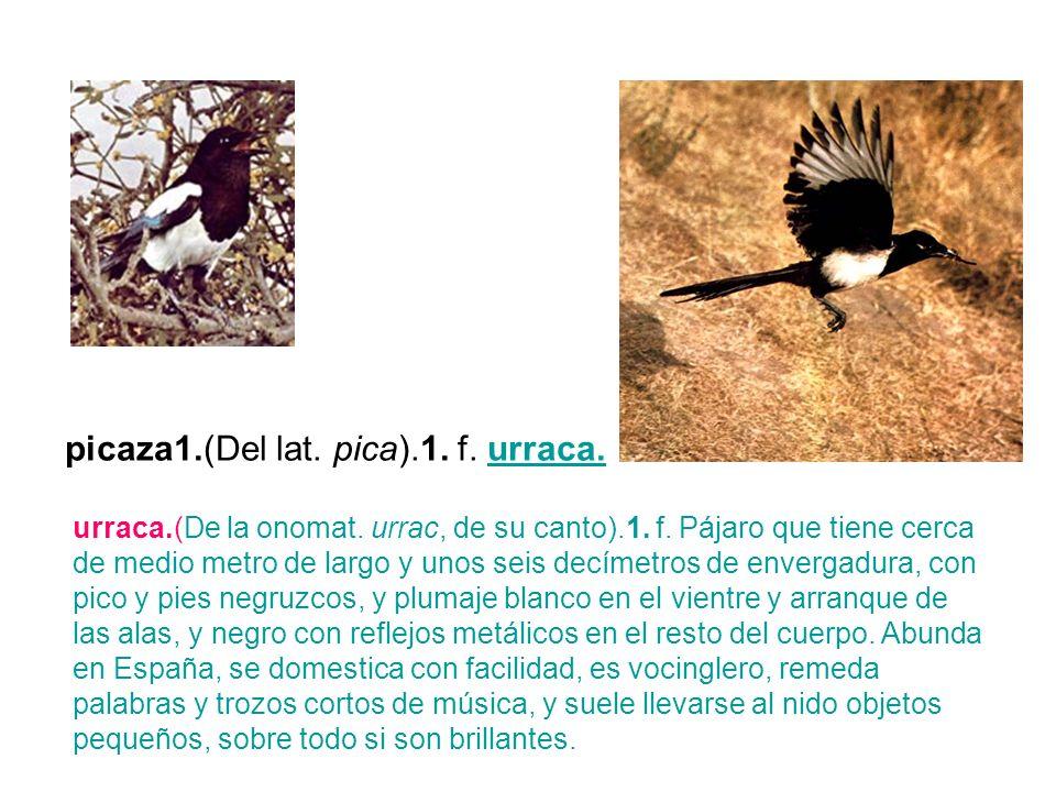 picaza1.(Del lat. pica).1. f. urraca.urraca. urraca.(De la onomat. urrac, de su canto).1. f. Pájaro que tiene cerca de medio metro de largo y unos sei