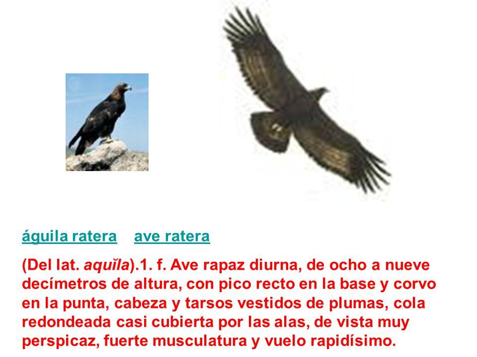 águila rateraáguila ratera ave rateraave ratera (Del lat. aquĭla).1. f. Ave rapaz diurna, de ocho a nueve decímetros de altura, con pico recto en la b