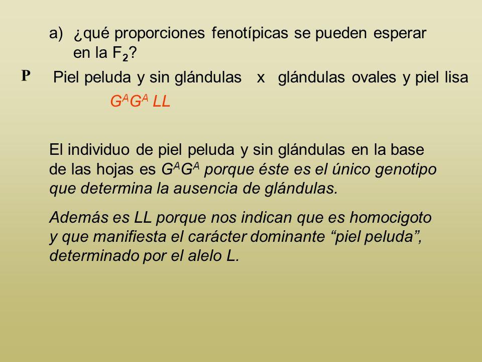 En los duraznos, el genotipo homocigoto G O G O produce glándulas ovales en la base de las hojas. El heterocigoto G A G O produce glándulas redondas,