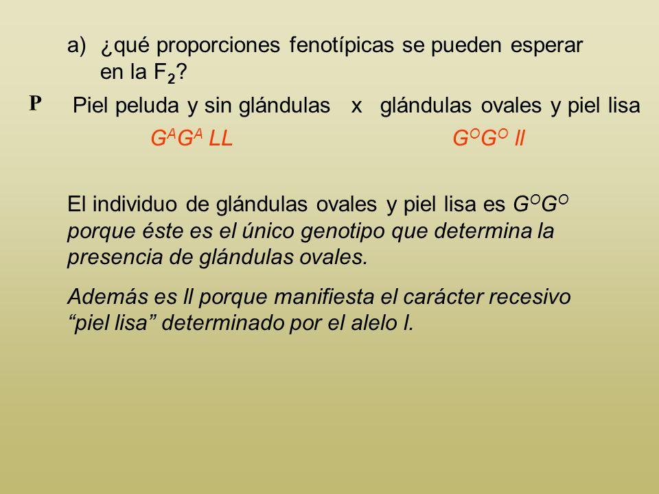 a)¿qué proporciones fenotípicas se pueden esperar en la F 2 ? Piel peluda y sin glándulas x ovales y piel lisa P G A G A LL El individuo de piel pelud