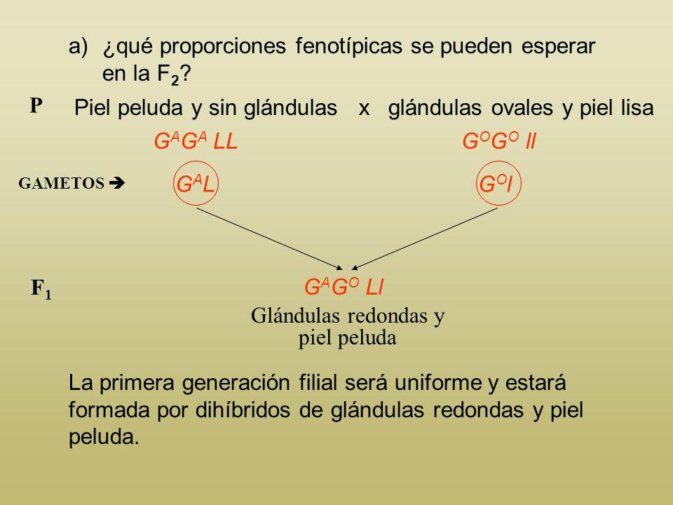 a)¿qué proporciones fenotípicas se pueden esperar en la F 2 ? Piel peluda y sin glándulas x glándulas ovales y piel lisa P G A G A LL El individuo de
