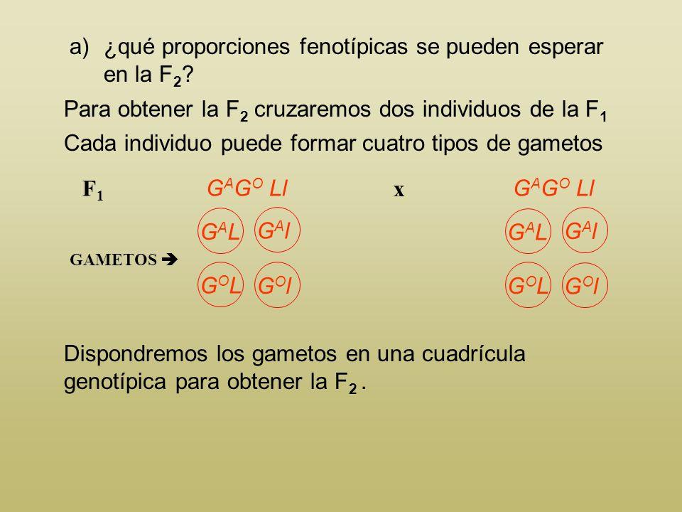 a)¿qué proporciones fenotípicas se pueden esperar en la F 2 ? Piel peluda y sin glándulas x glándulas ovales y piel lisa P G A G A LLG O G O ll GAMETO