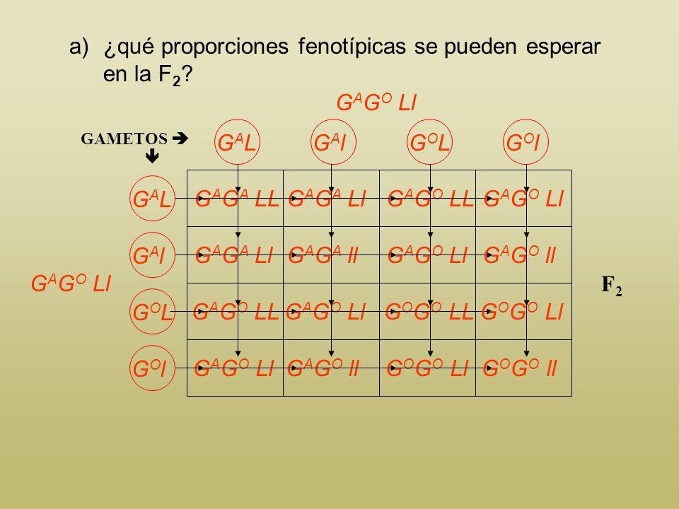 a)¿qué proporciones fenotípicas se pueden esperar en la F 2 ? GAMETOS GALGAL F1F1 Para obtener la F 2 cruzaremos dos individuos de la F 1 G A G O Ll G