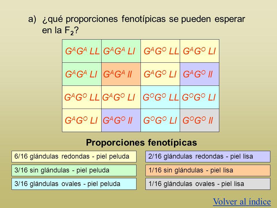 a)¿qué proporciones fenotípicas se pueden esperar en la F 2 ? GAMETOS GALGALGAlGAlGOLGOLGOlGOlGALGALGAlGAlGOLGOLGOlGOl G A G A LL G A G O Ll F2F2 G A